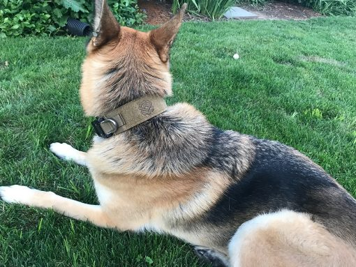 Dog Model - German Shep - 85lbs - Coyote Brown Collar